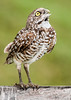 • Location - Hypolux Rd and Hagen Ranch Rd in Lake Worth<br /> • Burrowing Owl
