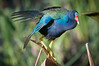 • Location - Green Cay Wetlands<br /> • Purple Gallinule