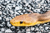 • Location - Loxahatchee National Wildlife Refuge<br /> • Yellow Snake