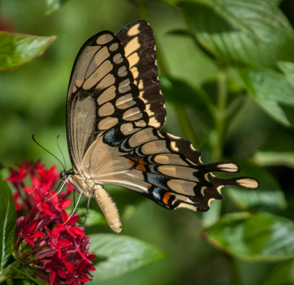 • Audubon Rescue Raptors Center<br /> • Giant Swallowtail Butterfly -  Papilio cresphontes