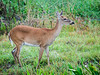 • Location - Viera Wetlands<br /> • White-Tailed Deer