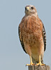 • Location - Road to Moccasin Island Tact<br /> • Red-shouldered Hawk