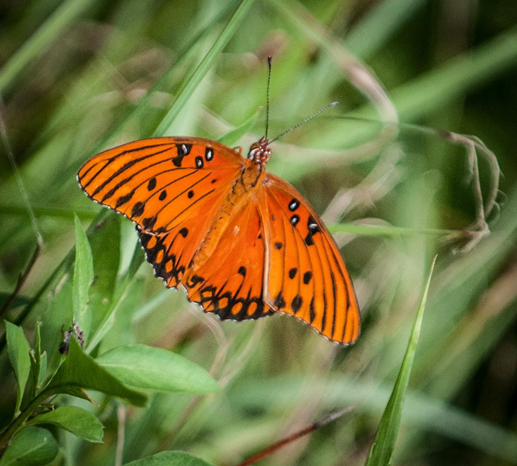 • Location - Viera Wetlands<br /> • Gulf Fritillary Butterfly