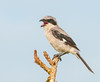 • Location - Viera Wetlands<br /> • Loggerhead Shrike