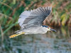 • Location - Viera Wetlands<br /> • Black-crowned Night-Heron in flight