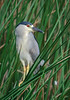 • Location - Viera Wetlands<br /> • Black-crowned Night-Heron