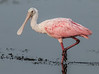 • Location - Viera Wetlands<br /> • Roseate Spoonbill