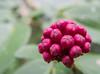 • Location - Leu Gardens<br /> • Calliandra buds