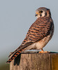 • Location - Moccasin Island Tract<br /> • American Kestrel