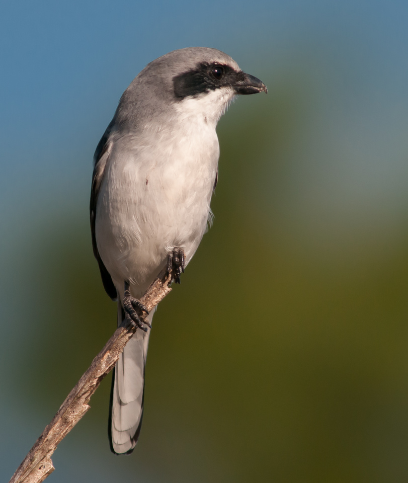 • Location - Road to Moccasin Island Tact<br /> • Loggerhead Shrike