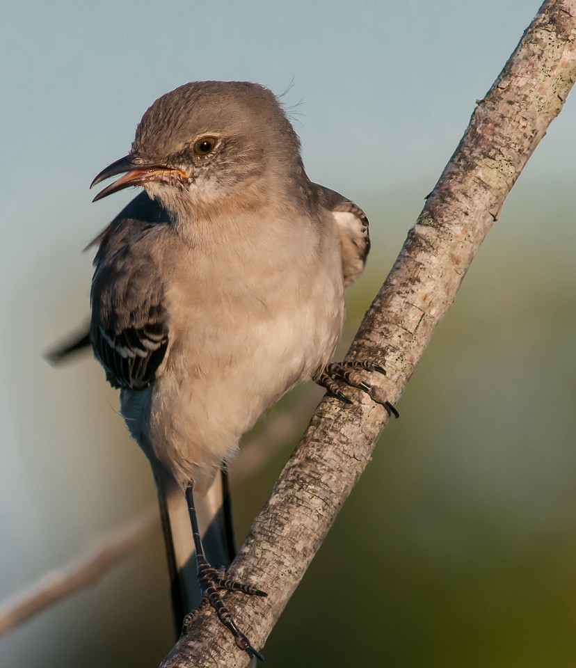 • Location - Moccasin Island Tract<br /> • Northern Mockingbird