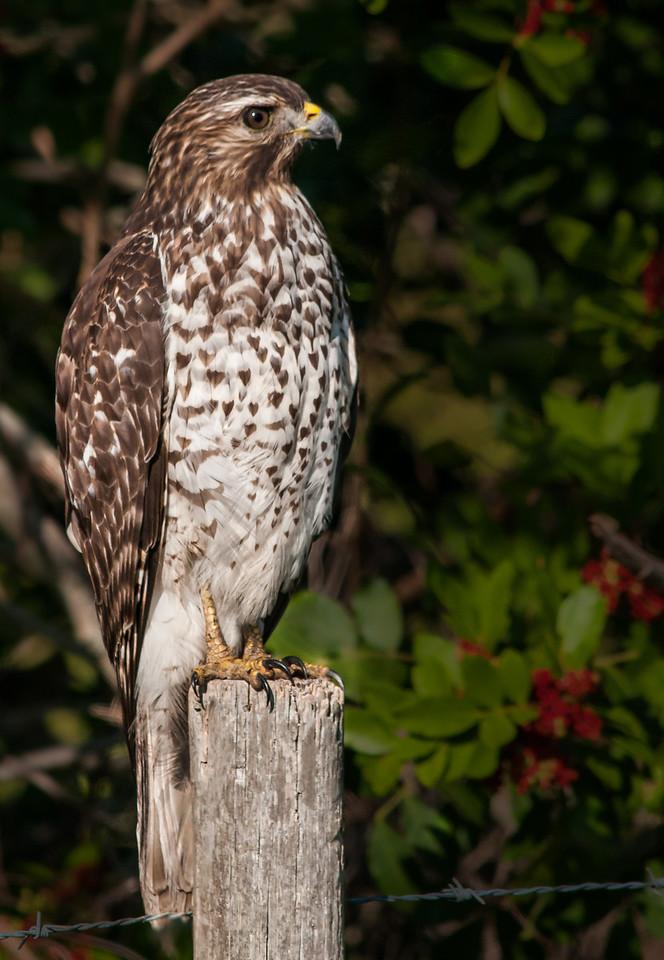 • Location - West side of Dan Click Ponds<br /> • Juvenile Red-shouldered Hawk