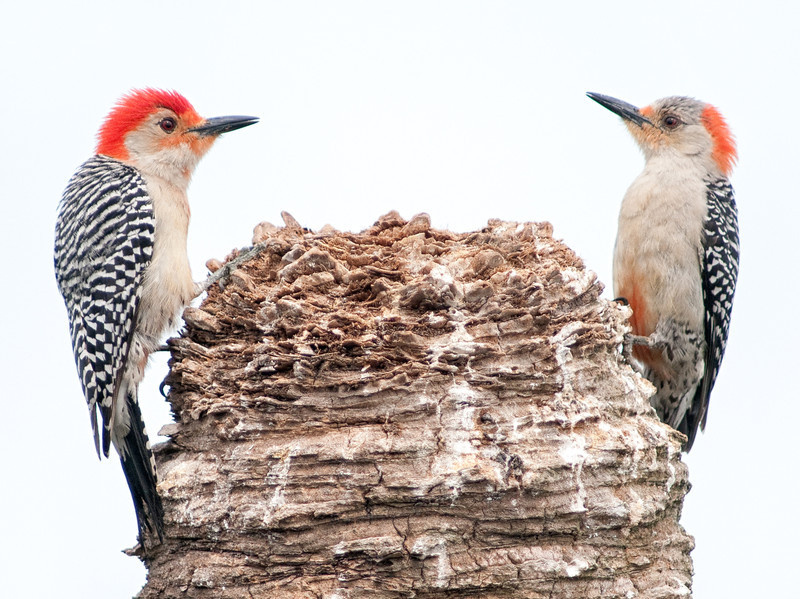 • Location - Viera Wetlands<br /> • The two Red-bellied Woodpecker said we have to stop meeting like this.