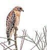 • Location - Moccasin Island Tact<br /> • Poor lonely Red-shouldered Hawk