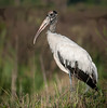 • Location - Road To Moccasin Island Tract<br /> • Wood Stork