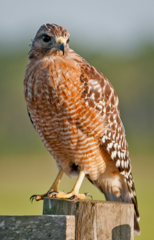 • Location - Road To Moccasin Island Tract<br /> • Red-shouldered Hawk - front view