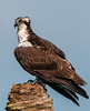 • Location - Viera Wetlands<br /> • Osprey looking for something to eat