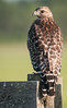 • Location - Road To Moccasin Island Tract<br /> • Red-shouldered Hawk - Back view