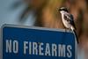 • Location - Moccasin Island Tract<br /> • Loggerhead Shrike
