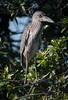 • Location - Moccasin Island Tract<br /> • Immature Yellow-crowned Night Heron
