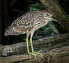 • Location - Dan's Click Ponds<br /> • Immature Black-Crowned Night-Heron hiding under pump area