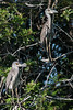 • Location - Moccasin Island Tract<br /> • A Pair of Immature Yellow-crowned Night Heron