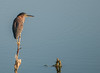 • Location - Dan's Click Ponds<br /> • Green Heron looking for something to eat