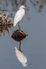 • Location - Viera Wetlands<br /> • Snowy Egret with its reflection
