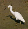• Location - Dan's Click Ponds<br /> • Snowy Egret