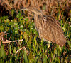 • Location - Viera Wetlands<br /> • American Bittern