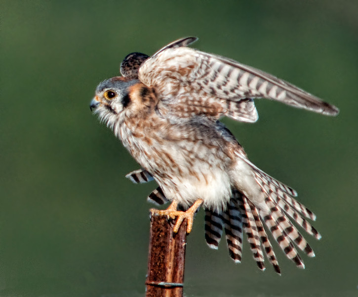 • Location - Moccasin Island Tact parking lot<br /> • American Kestrel showing off its feathers