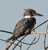 • Location - Road to Moccasin Island Tact<br /> • I finally got a chance to photograph a Belted Kingfisher that stuck around for awhile.