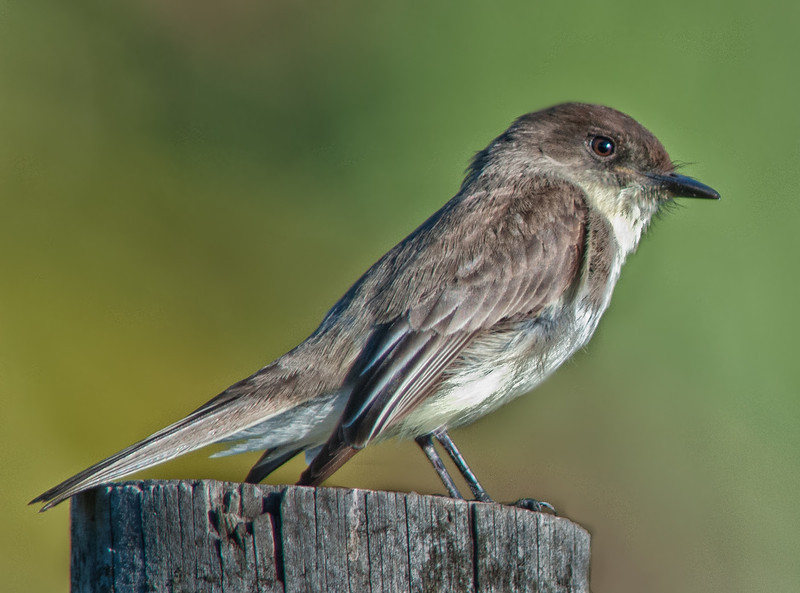 •Location - Road to Moccasin Island Tact<br /> • A cute little Eastern Phoebe