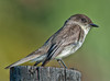 • Location - Road to Moccasin Island Tact<br /> • A cute little Eastern Phoebe