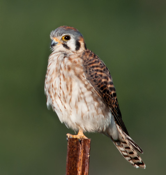 • Location - Moccasin Island Tact parking lot<br /> • I guess a American Kestrel can stand on one foot too.
