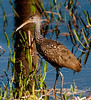 • Location - Viera Wetlands <br /> • The Limpkin looking for some snails to eat