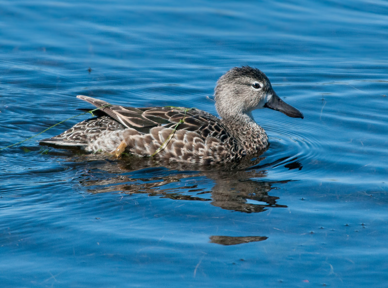 •Location - Viera Wetlands <br /> • The  Blue-winged Teal is just swimming towards its mate