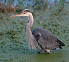 •Location - Dan's Click Pond<br /> • The Great Blue Heron is in total concentration to capture its next fish