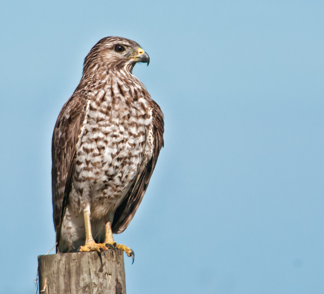 •Location - Viera Wetlands <br /> • The Red-shouldered Hawk is posing for me