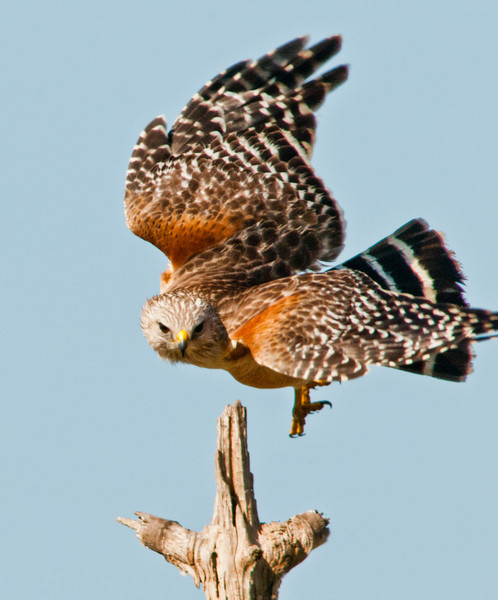 •Location - Viera Wetlands <br /> • Re-shouldered Hawk ready for take off