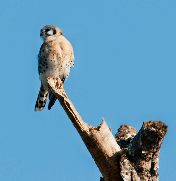 • Location - Road to Moccasin Island Tact<br /> • This American Kestrel was high up in a dead tree and very hard to spot.