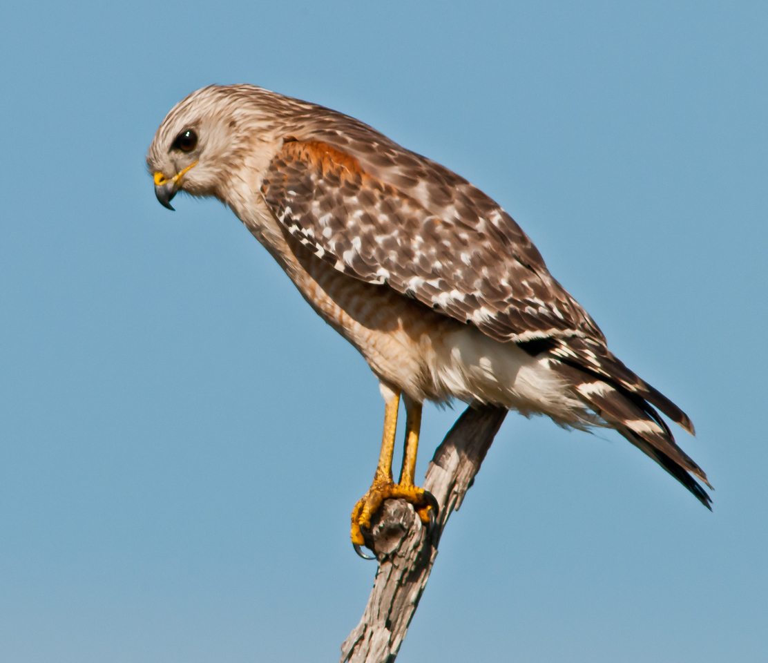 • Location - Viera Wetlands <br /> • The Red-shouldered Hawk is looking for its next meal