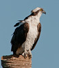 • Location - Viera Wetlands <br /> • Osprey looking for its next meal