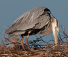 A great Blue Heron checking out Its nest again.