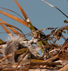 I only have 2 Great Blue Herons chicks in this photo, but I think I saw 3 in this nest.