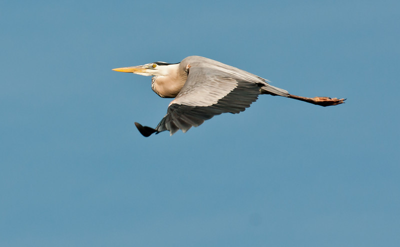 A Great Blue Heron on the way back to its nest.