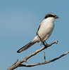 Loggerhead Shrike just hanging on a branch