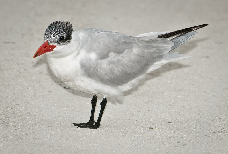 The only colorful thing on this Royal Tern is its beak.