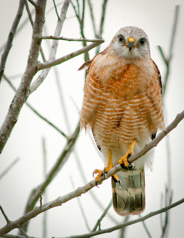 The Red-shouldered Hawk keeping its eyes on me.