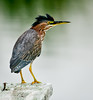 Bad hair day for the Green Heron.